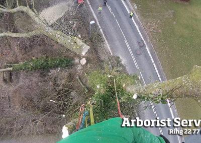Træfældning af stort vanskeligt træ Odense Fyn