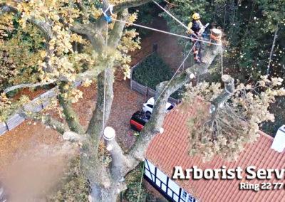 Træfældning af meget stort træ Odense Fyn