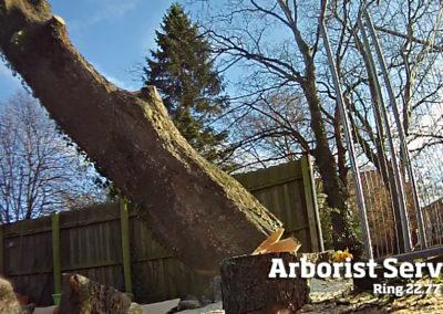 Træfældning af stort træ Odense Fyn