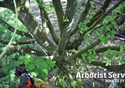 Naturgenopretning - Træpleje af træer Odense Fyn
