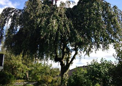 Træpleje - Kronetynding -Beskæring af træer Odense Fyn