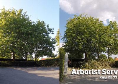Fuld kronereduktion - Beskæring af træer - Odense Fyn