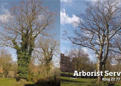 Træpleje - Fjerne/rense træer for efeu